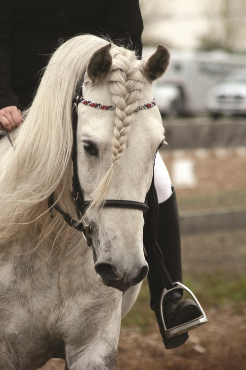 Pacific Association Andalusian Lusitano Horse, PAALH, Bunny Caton Alberta Andalusians, Zorro del Bosque, Keilan Ranch, Canadian National Andalusian Show and Fiesta, CNASF