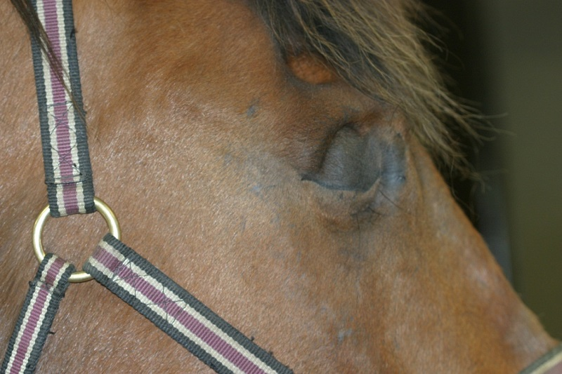equine eye disease, equine vision, lynne sandmeyer dvm, small animal clinical sciences wcvm, equine eye anatomy, equine corneal ulcer, equine conjunctival pedical graft, equine uveitis, equine iris, equien glaucoma, equine cataract, equine enucleation surgery, horse care