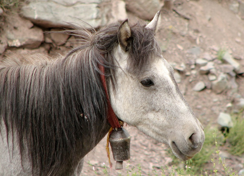 Stan Walchuk Jr, horse wrangling, equine hobbles, horse hobbles, picket rope, horse bells, horse tail tying, equine wrangling