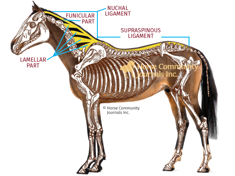 horse back pain, poor saddle fit, horse laser therapy, equine shockwave therapy, equine kissing spine, x-rays equine back, sacroiliac pain horse, equine joint pain