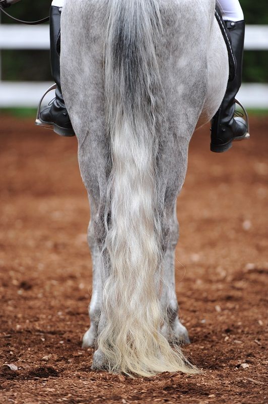 horse grooming, shiny coat horse, taking care of horse coat, how to comb a horse's tail, equine grooming, combing horse mane, how often bathe horse, corn starch horse