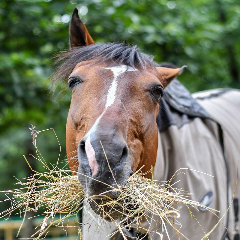 Masterfeeds, horse nutrition, equine digestive system, free-choice forage, equine ulcers, equine hindgut, horse colic, masterfeeds