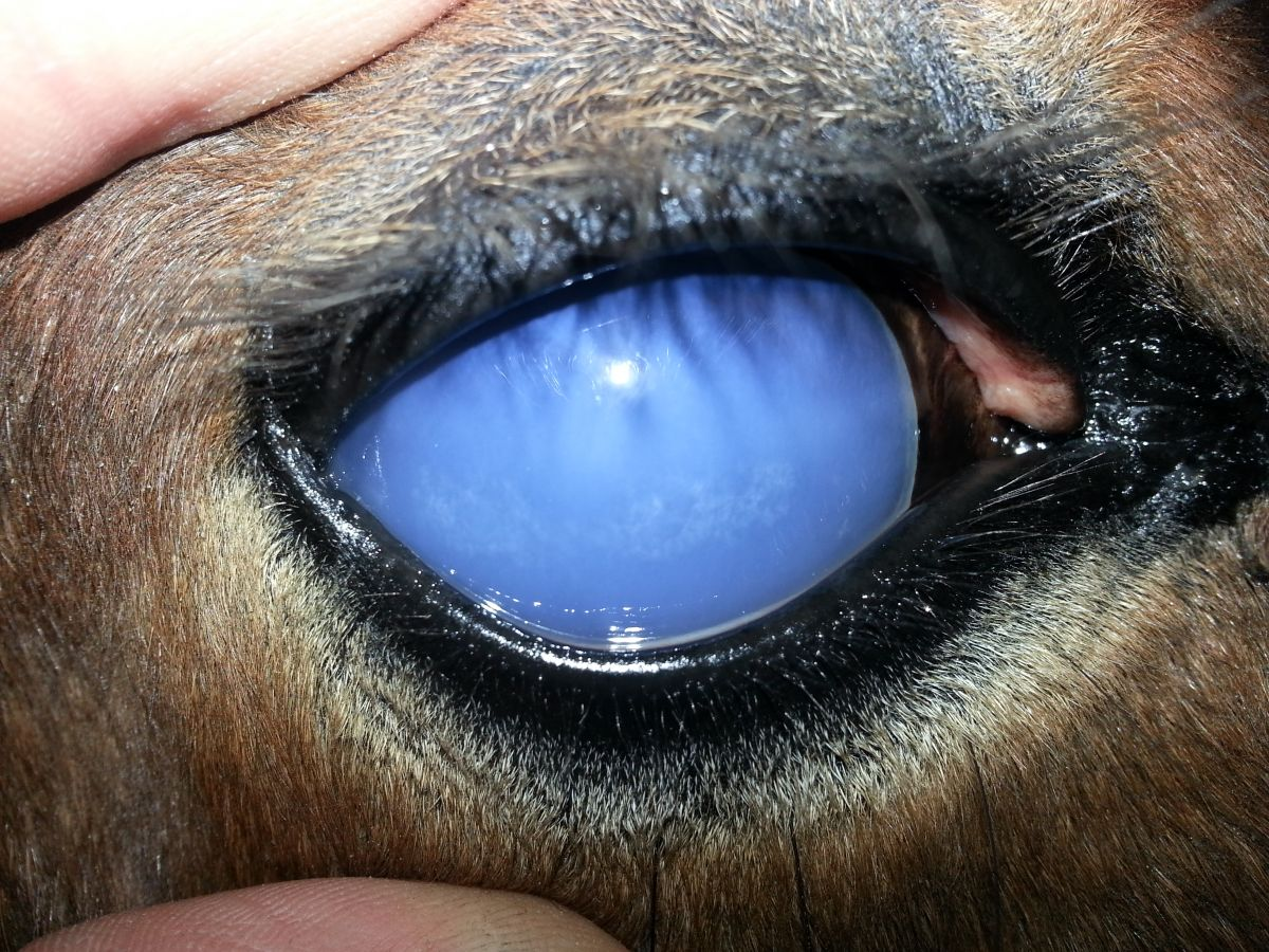 What is Equine Recurrent Uveitis (eru), UC Davis Center for Equine Health, moon blindness HORSES, IS MY HORSE BLIND? types of horses that go blind, insidious uveitis