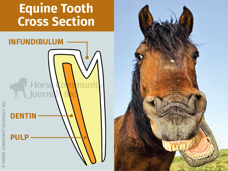 teeth equine, veterinary dental equine checkups, galvayne's groove, shelagh niblock, how to tell a horse age, hey good for horses teeth
