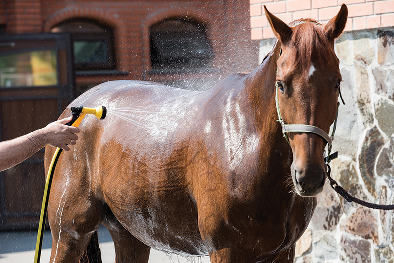 hot weather horses, cooling a horse down, riding a horse hot weather, horse overheating, horse dehydrated, uc davis center for equine health