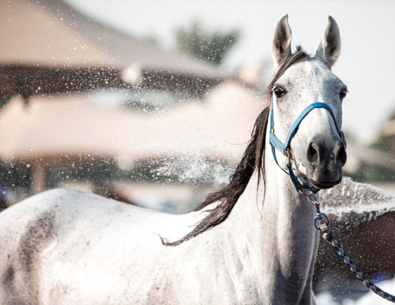 Microchips in horses, taking a horse's temperature, how to tell if horse overheating, signs of horse too hot, equine science update, mark andrews