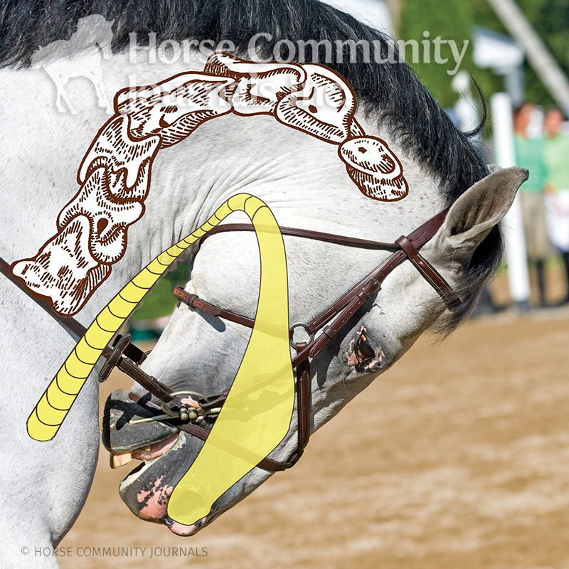 the equine hyoid bone, does my horse have tmd? alexa linton, how to tell if my horse has an imbalance of the hyoid apparatus