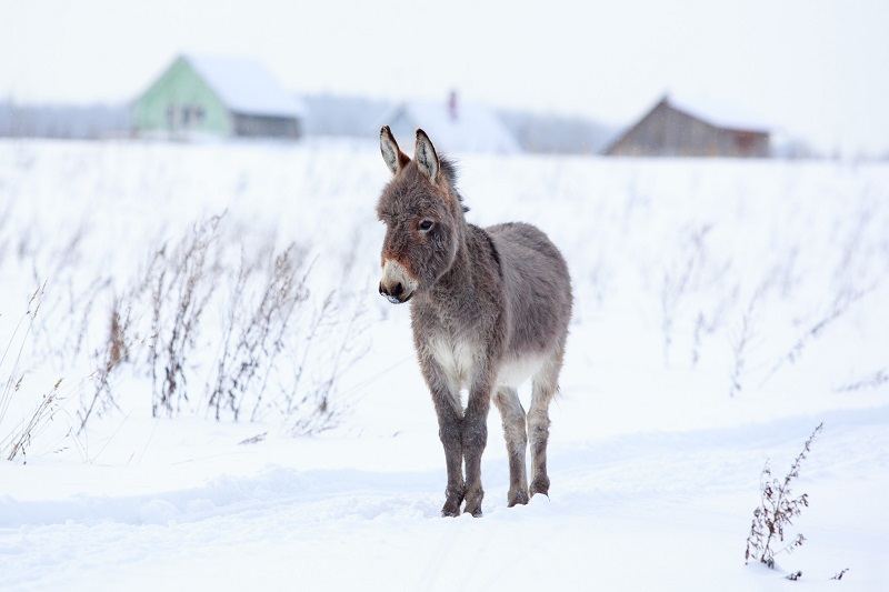 donkeys in the cold, how to keep donkeys warm, keeping horses warm, keeping equines warm