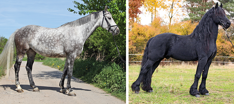 hot to open a horse's thoracic cage, the equine sternum, alexa linton, sports therapy horses,