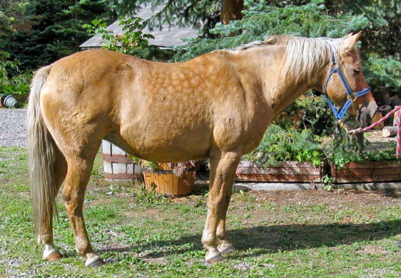 equine metabolic syndrome, ems, cushing's disease, ppid, high insulin horses, overweight horse