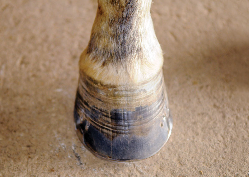 Hans Wiza, horse Hoof makeover, splay-footed horse, cracked horse feet, chipped horse feet, flared horse feet, flaking horse feet, bent horse feet, broken horse feet, hyper-expanded horse feet, peeling horse feet, equine scapular hinge vertical alignment, H.A.N.S. TRIM protocol, horse shoes