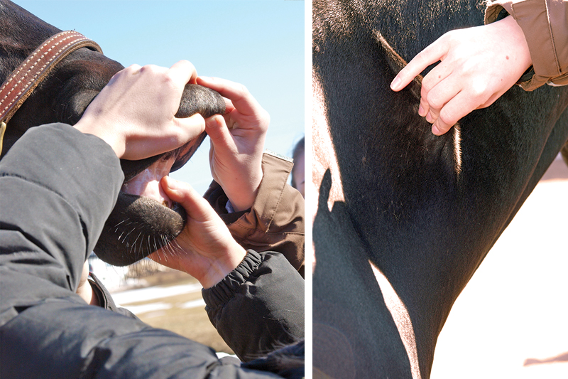 equine first aid, travelling with horses, safe trail riding, safe horse riding, safe equine first aid, horse's wounds, how to take a horse's heart rate, take horse temperature, check if a horse hydrated