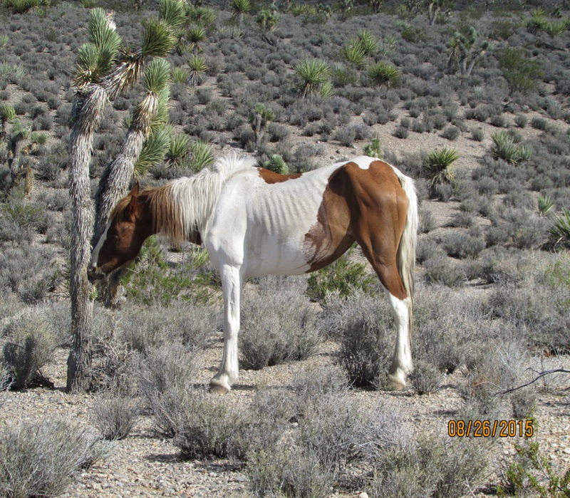 malnourished horse, rescue horses, helping underweight horse, starving horse, how to tell if horse is healthy weight, welfare horses
