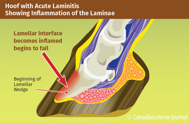 equine Laminitis in Horses with EMS and Cushing's Disorder, Dr. Jaini Clougher ECIR Group. Equine Metabolic Syndrome (EMS) and Cushing's disorder (PPID) phenylbutazone (Bute) horse is rocked back onto its haunches therapeutic hoof boots with pads vitamin e laminitis