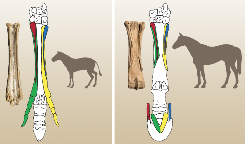 Do horses have just one toe or several? do horses have five toes? understanding equine foot