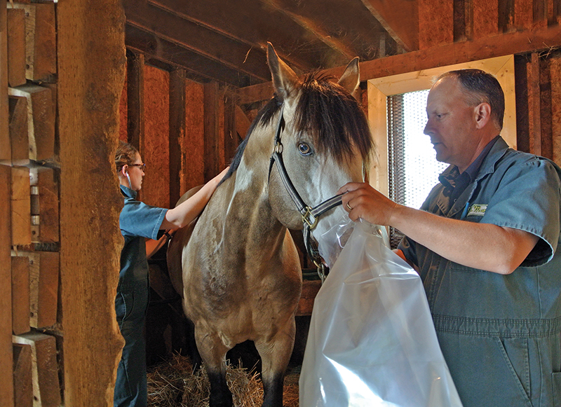 symptoms of equine asthma, does my horse have asthma, round bales asthmna, equine asthma mold, horse coughing, nasal discharge horse, snotty nose horse, treatments for equine asthma, bacteria for equine asthma, bronchodilator therapy horses