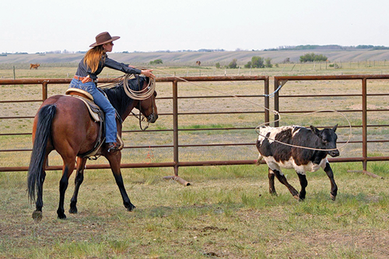 how to rope a cow, roping with horses, cowboy roping, ross smith president canadian ranch roping association,
