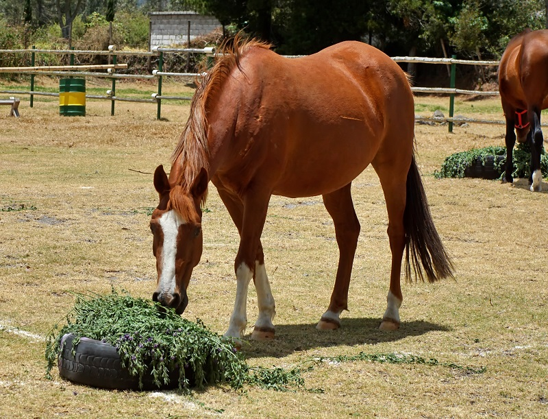 equine enteroliths, pebbles in manure, horse manure stones, colic causes horses, should i feed alfalfa to my horse?