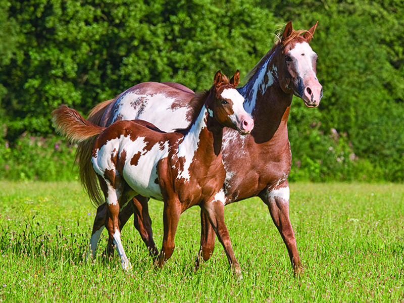 feeding the growing horse, how to feed a foal, filly feeding a colt, shelagh niblock, nutrition for young horse