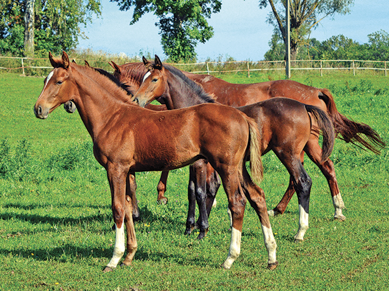 nutrition for the foal, calcium for mare and foal, creep feed system, shelagh niblock, deveopmental orthopedic disease equines