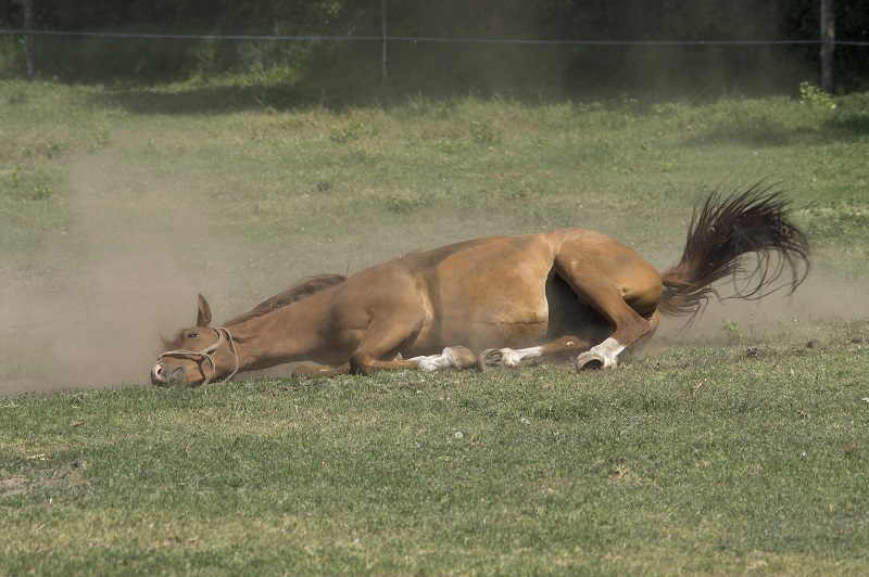 horse digestive system, recovering from horse colic, how to tell if horse has colic, treating colic, kentucky equine research, equine enteroliths, horse ate too much grain and grass