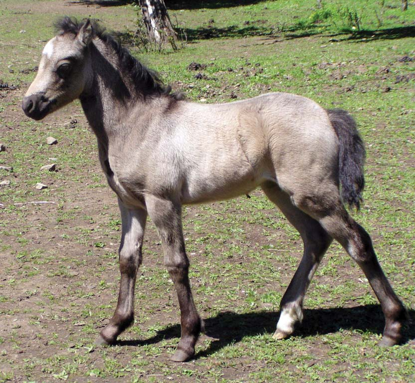 Welsh Mountain Pony Cob Equine Breed Ponies Horse Wales UK