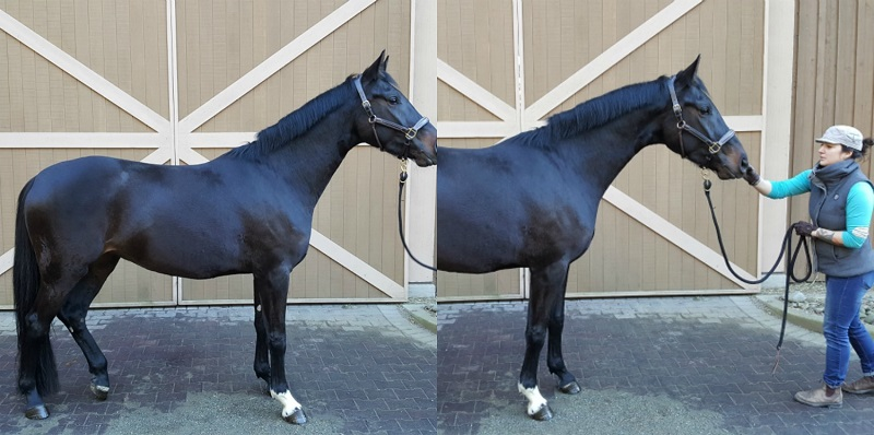 How to Take a Great  horse Conformation Photo, equine confirmation, selling a horse, how to sell a horse, all ears selfie app