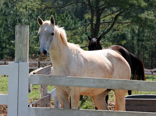 pssm horse, polysaccharide storage mypathy horses, muscle disease horse, quarter horse pssm, muscle cramping horse, tying up horse