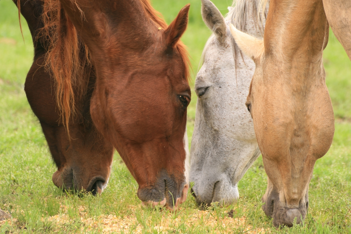 fat horse, obese horse, eqine obesity, dangers of obese horse, equine conditioning, equine weight loss