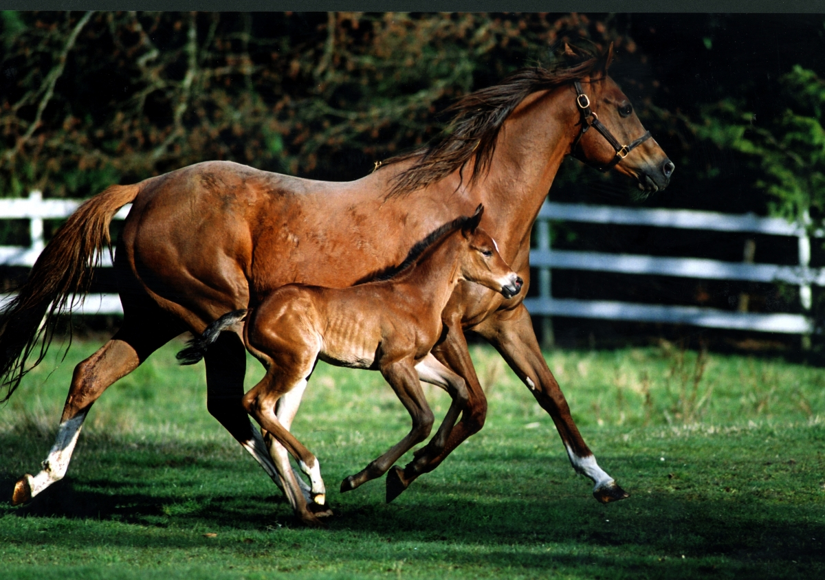 TB broodmare and foal