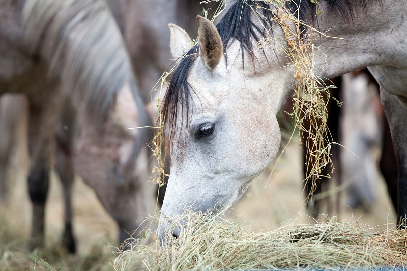 Feeding Horse's Body Condition Dr. Wendy Pearson my horse is too fat my horse is too thin equine obesity equine malnutrition