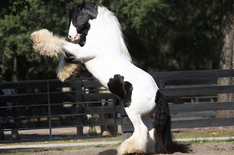 gypsy vanner, gypsy horse, once upon a time, feathered hooves, gypsy cob