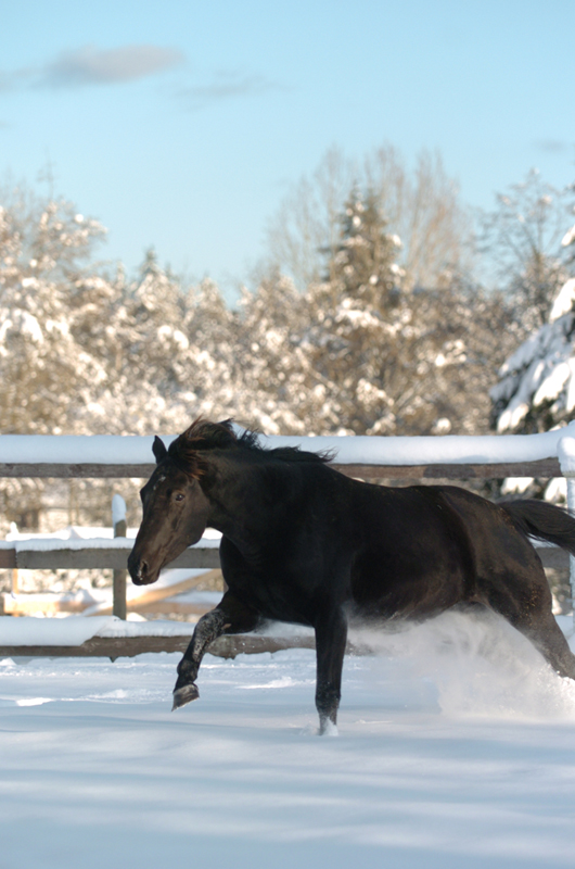 Your Horse's Winter Energy Needs, forages is the perfect energy source for Your horse, optimize your winter feeding regime, sources of equine energy, Shelagh Niblock, BSc.Ag., PAS