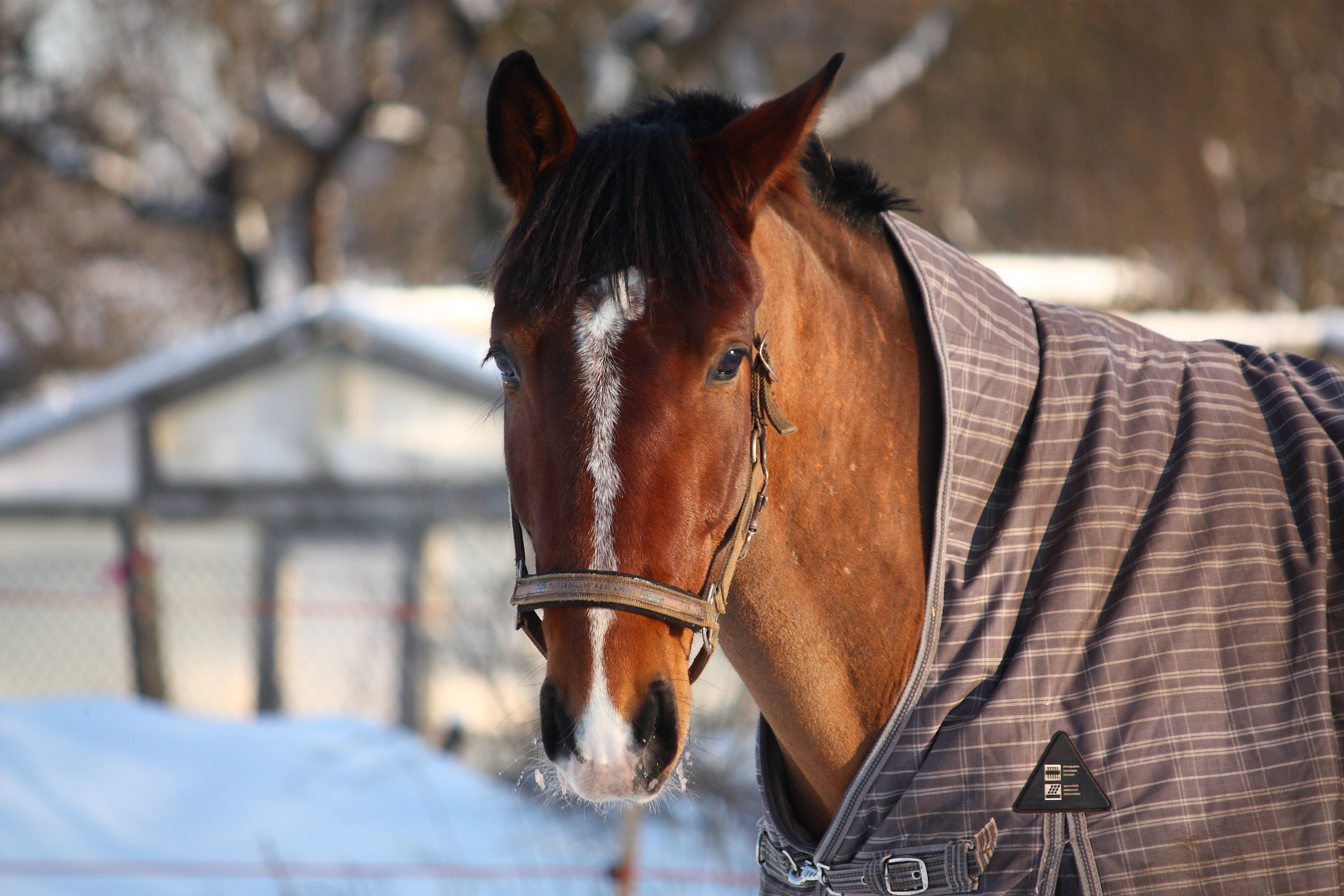 do you blanket your horse in winter? should i blanket my horse in winter? winter horse blanketing