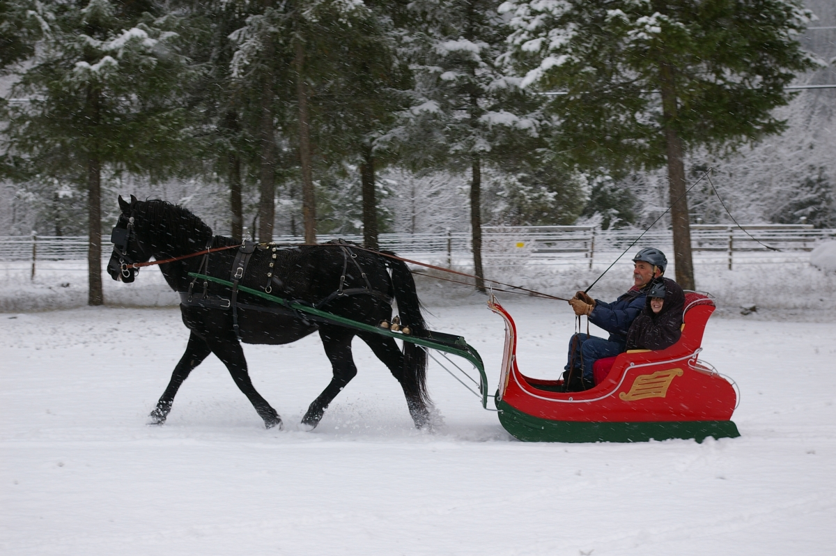 Canadian horses pulling sleighs in Montreal