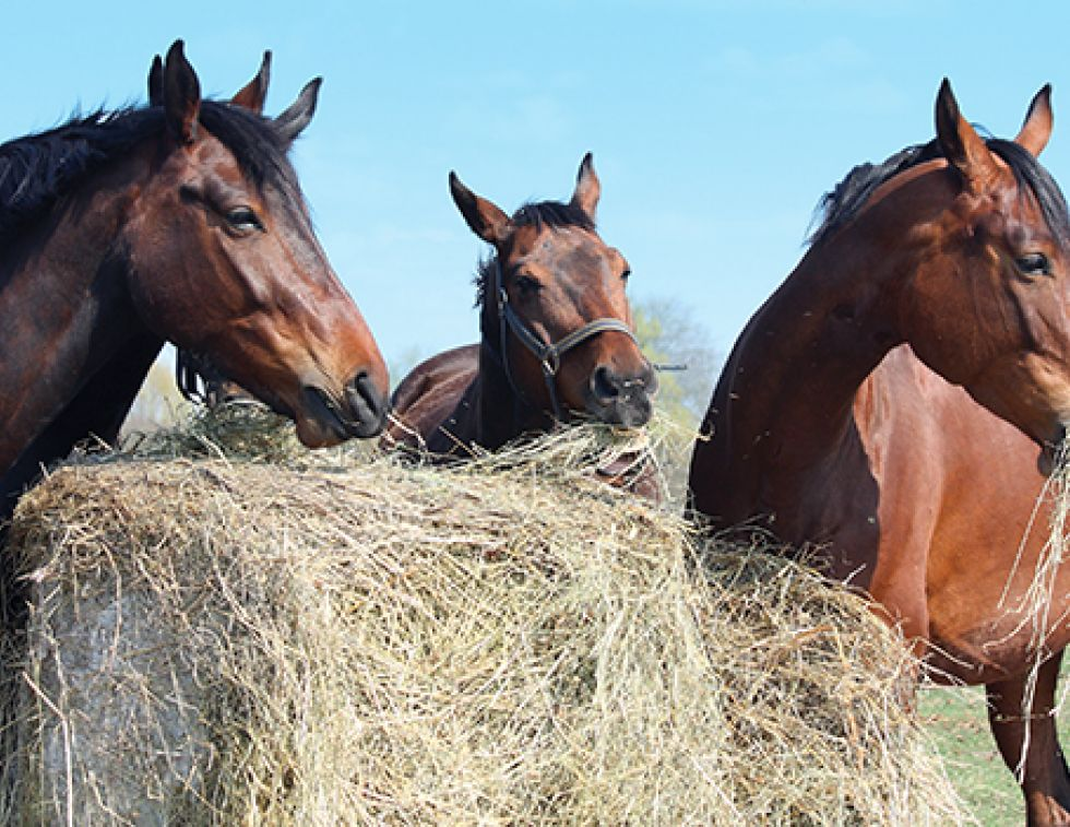 horse heaves, equine heaves, horse lungs, equine lung disease