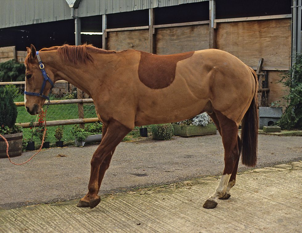 what is horse laminitis, inflammation of horse laminae, horse anatomy, equine physiology, coffin bone horse, signs of horse laminitis, horse colitis