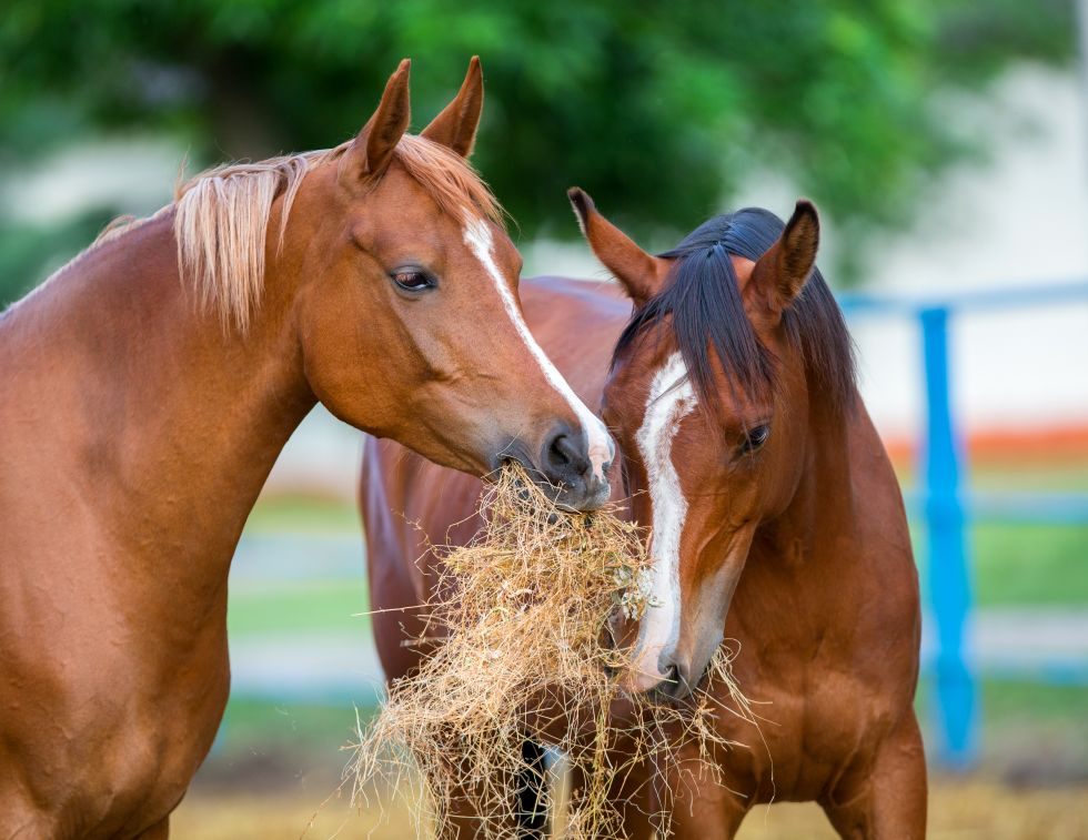 horse supplements canada, masterfeeds equine, vitamins for horses, proper horse nutrition, what horse feed should i buy?