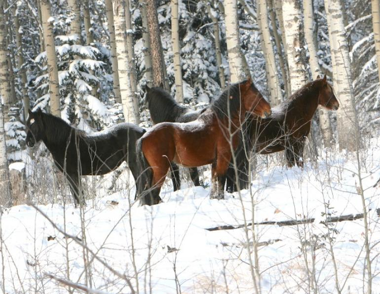 Wild Horses in Alberta, Wild Horses of Alberta Society, WHOAS, Alberta Ministry of Environment and Sustainable Resource Development, ESRD, Sundre Equine Zone, Bob Henderson, horses Kananaskis country, Brazeau Equine Zone