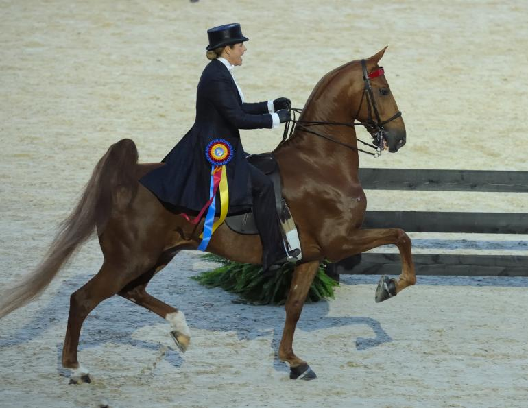 Stylish Saddlebred