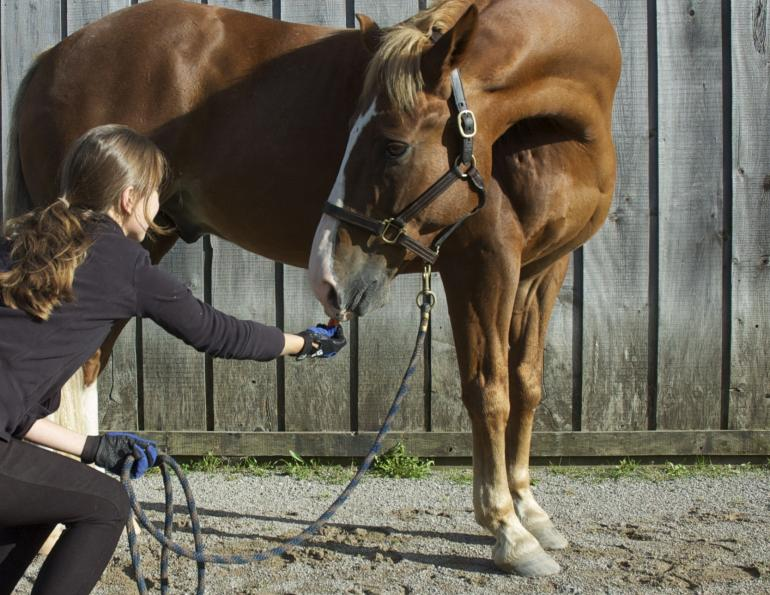 horse Carrot Stretches, horse stretches, horse flexibility, equine stretches