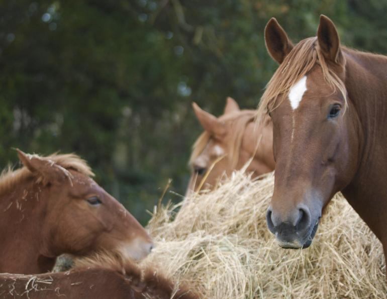horse ulcers, juliet getty, equine ulcers, free choice forage feeding, horse digestion, beet pulp, hindgut microbial population, vitamin b horse