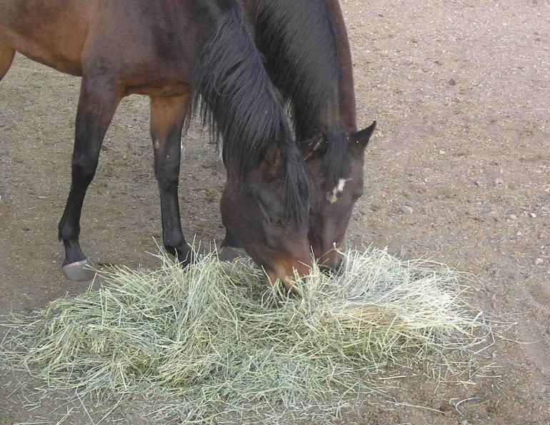 how to treat equine colonic ulcers, clinical signs of equine colonic ulcers, identifying colonic ulcers in horses