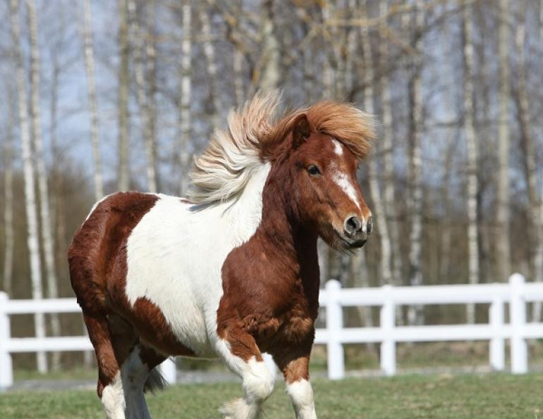 Shetland Pony Allergies, Insect bite hypersensitivity, ponies allergies