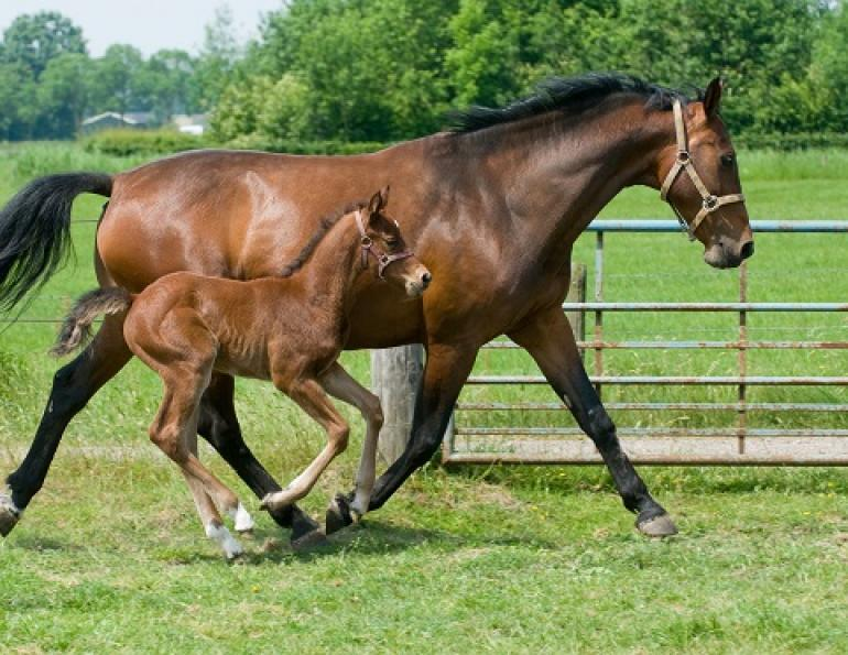 equine embryo transfer, donor mare, breeding top mare, breeding top horses, juan samper, equine pregnancy