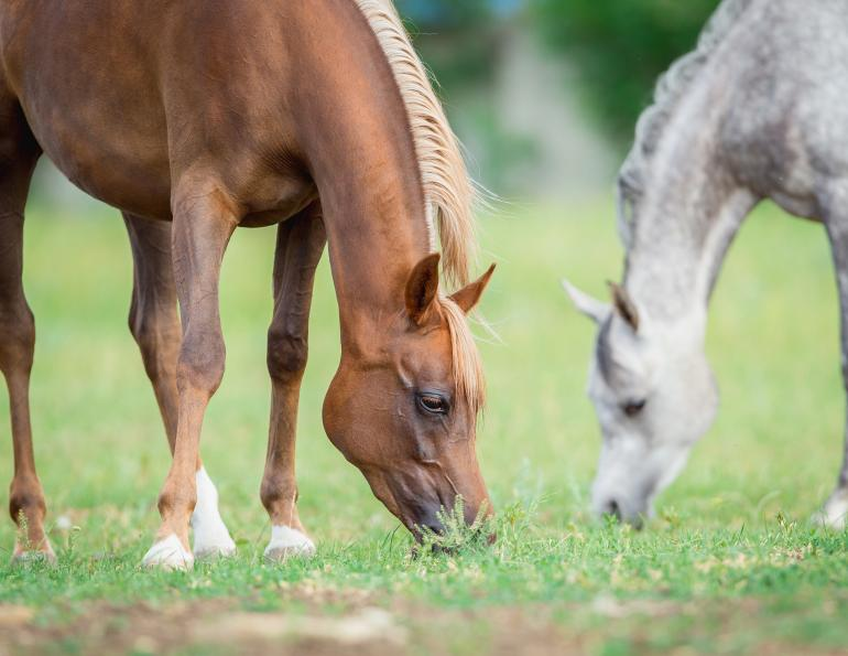Ted Moore, renovating Horse Pasture, horse pasture Renovation, identifying horse pasture weeds, seeding horse pasture, No-Till Seeding horse pasture, Post-Seeding Management horse pasture, horse pasture management