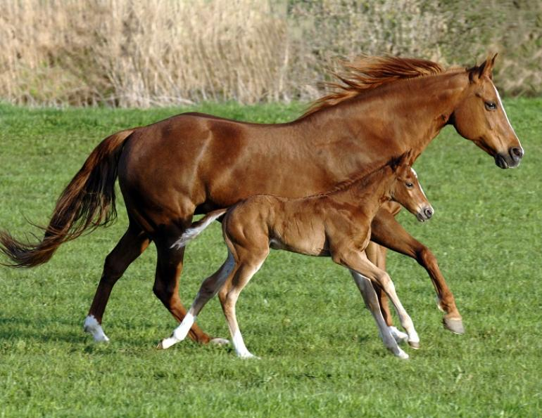 netf, equine disease, horse disease, aginnovation ontario, university of guelph, newborn foal disease, equine eneritis disease, foal eneritis