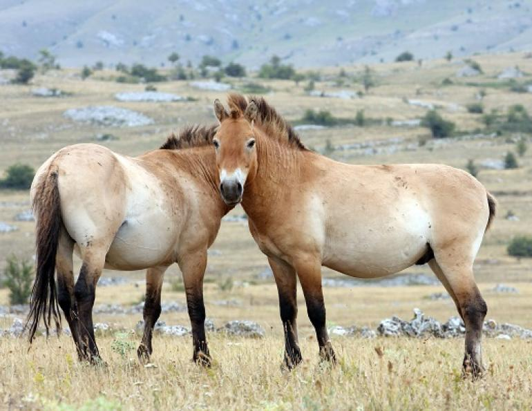 horse domestication, equine domestication, horse genomes, equine genomes, ancient horse, ancient equine, equine geonetics, mongolian horse, przewalski horse