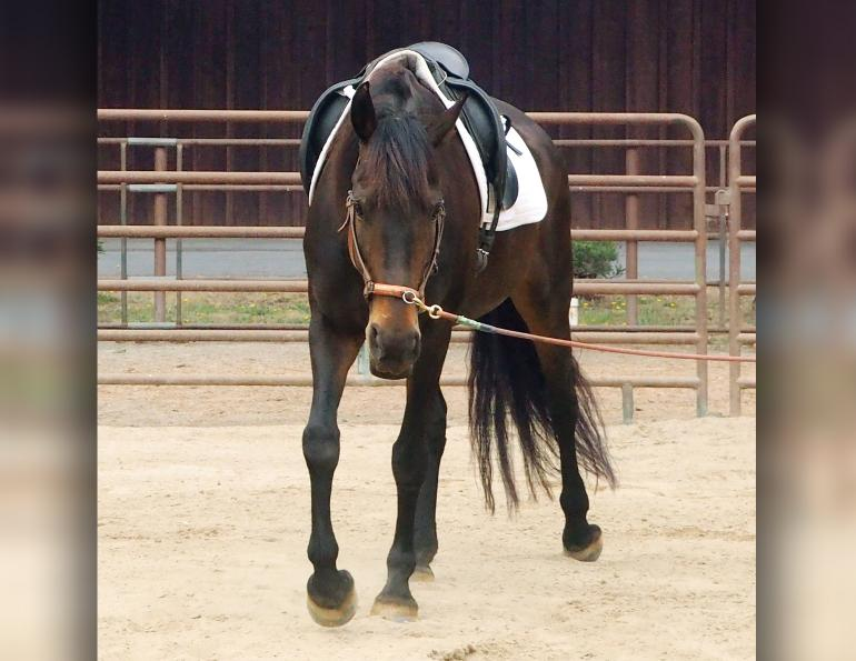 jec ballou equine trainer, using the long cavesson on horse, equine groundwork, lateral poll flexion horse