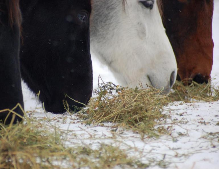 horse colic, horse hay, horse feed, horse hay, horse grazing, preventing colic, horse teeth